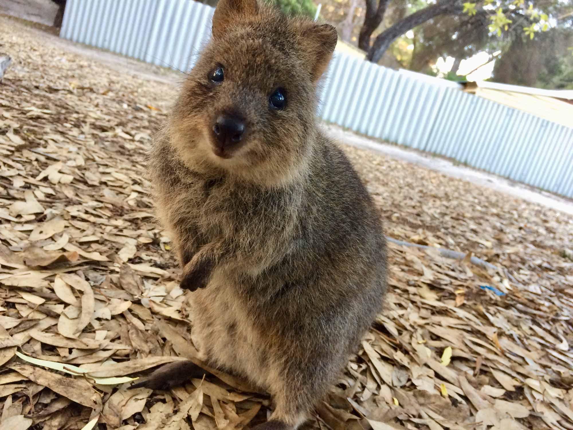 「クオッカに会いたい!」 英語が苦手な中年パパの 西オーストラリア専業主夫日記