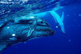 ザトウクジラと一緒に泳ぐ