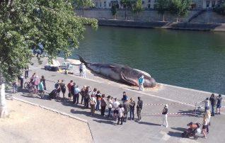 パリ、セーヌ河岸に打ち上げられたマッコウクジラ!?