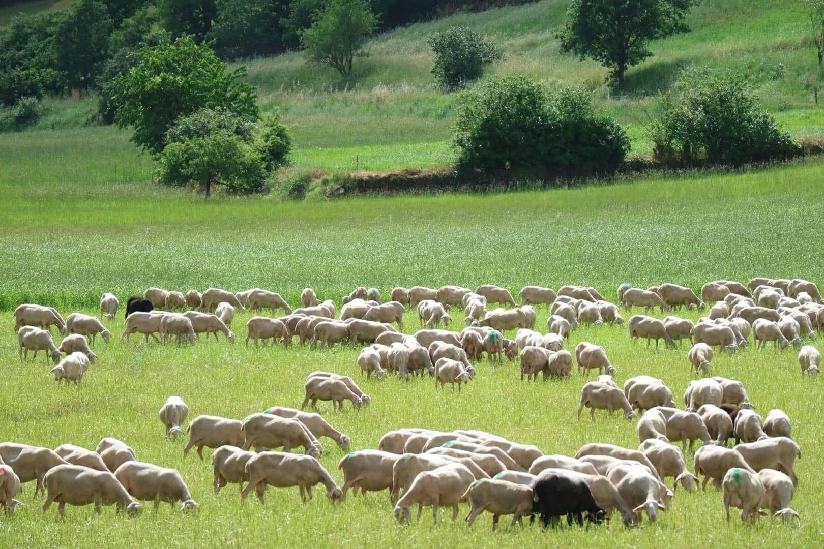 初夏にオススメ、さっぱり羊のチーズ。