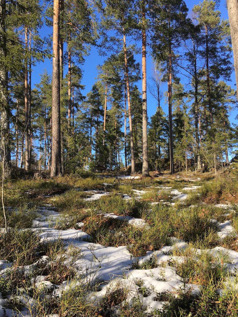 フィンランド、森のブルーベリーは心のセラピスト
